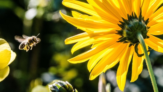 Biene fliegt zu einer Blume